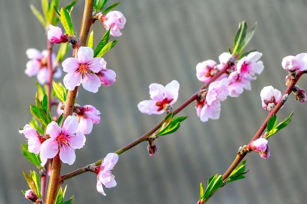 Fleurs de pêche rose vif sur un gris par temps ensoleillé