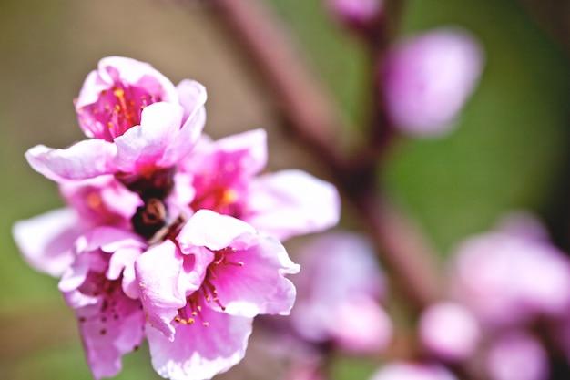 Fleurs de pêche rose.