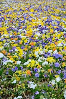 Fleurs de pensée multicolores ou pensées se bouchent