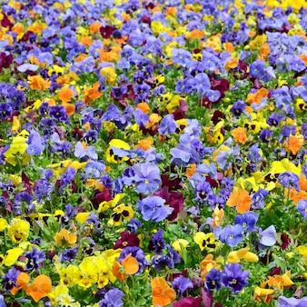 Fleurs ou pensées multicolores proches