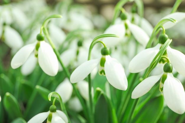 Fleurs de perce-neige beau printemps, gros plan