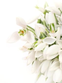 Fleurs de perce-neige sur fond blanc