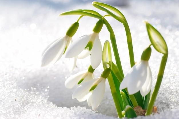 Fleurs de perce-neige de printemps avec de la neige dans la forêt