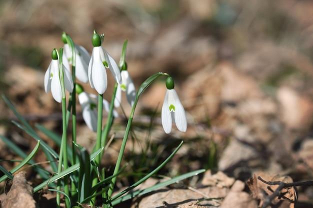 Fleurs de perce-neige se bouchent