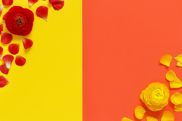 Fleurs et pétales de renoncule rouge et jaune sur un fond corail rouge et jaune vue de dessus