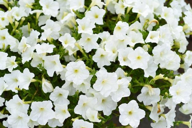 Fleurs de pétunia blanc classique poussant en extrême-orient russe