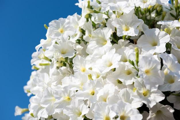 Fleurs de pétunia blanc