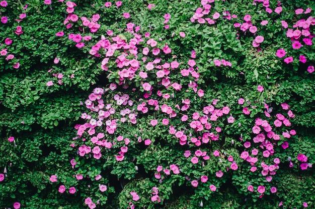 Fleurs de pétunia dans le jardin au printemps