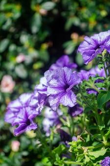 Fleurs de pétunia pourpres dans le jardin au printemps