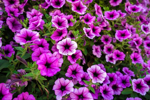 Fleurs de pétunia rose vif pour un arrière-plan