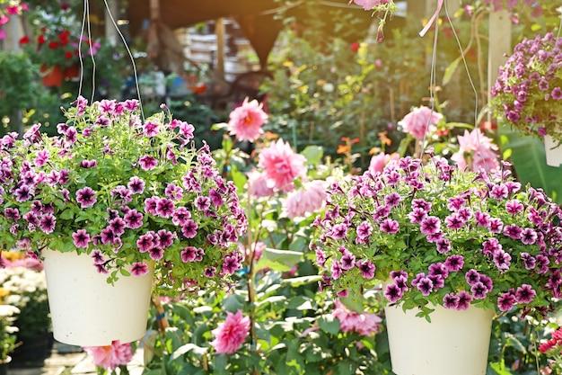 Fleurs de pétunia à vendre
