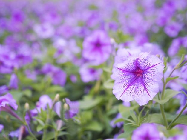 Fleurs de pétunia violettes et blanches avec un arrière-plan flou