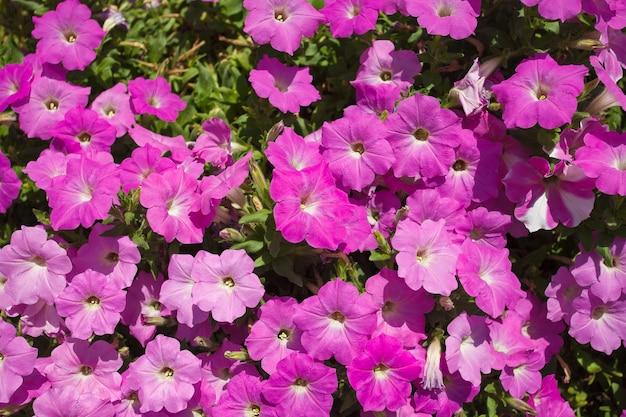 Fleurs de pétunias rose pourpre, poussent beaucoup dans le jardin