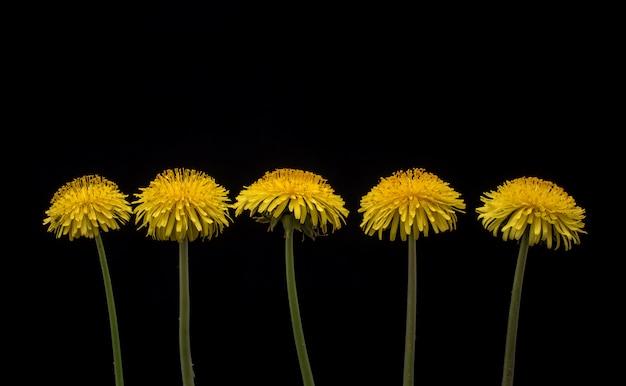 Fleurs de pissenlit. cinq fleurs de pissenlit sur fond noir.