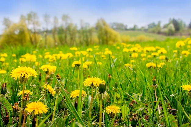 Fleurs de pissenlit jaune fleurissent sur une prairie verte par temps ensoleillé