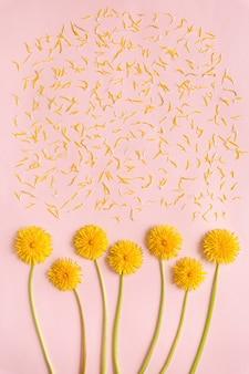 Fleurs de pissenlit jaune en fleurs avec des pétales sur fond de papier rose télévision lay with copy space