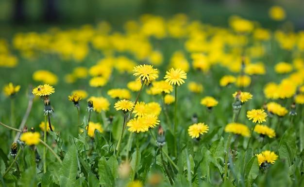 Fleurs de pissenlit des prés, fond de nature