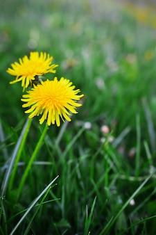 Fleurs de pissenlits en fleurs dans le jardin au printemps