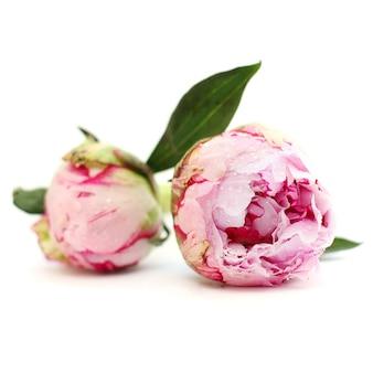 Fleurs de pivoine en fleur, floral