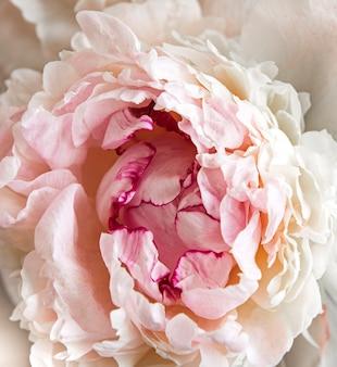 Fleurs de pivoine rose clair fraîches comme surface naturelle