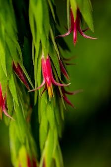 Fleurs de plante épiphyte ceratostema