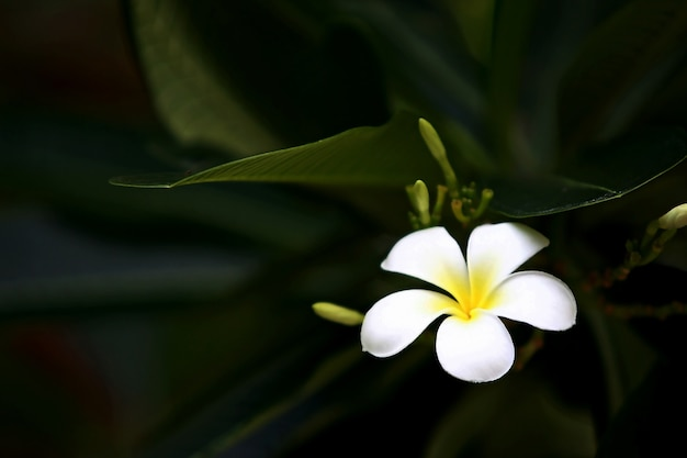 Fleurs de plumeria sur l'arbre, gros plan