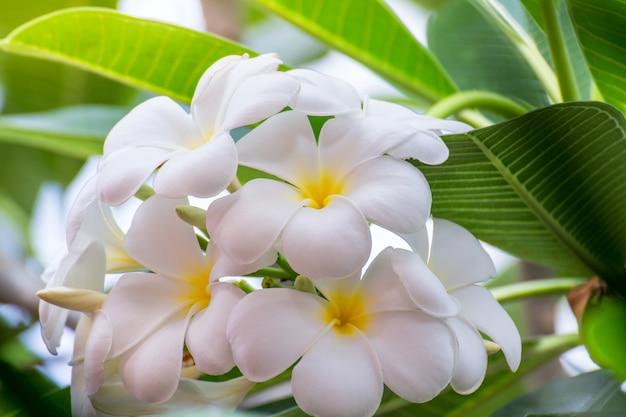 Fleurs de plumeria blanc