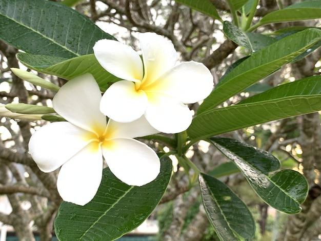 Fleurs de plumeria fleurissent le matin