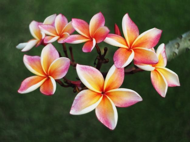 Fleurs de plumeria ou frangipanier