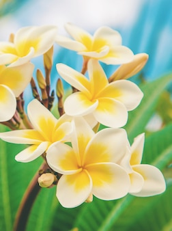 Fleurs de plumeria qui fleurissent dans le ciel.