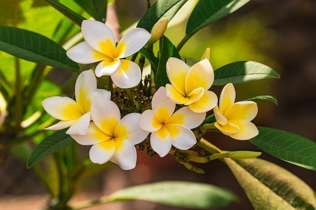 Fleurs de plumeria rubra en fleurs