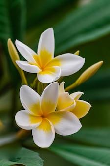 Fleurs de plumeria rubra