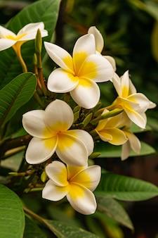 Fleurs De Plumeria Rubra Photo Premium