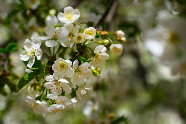 Fleurs de poirier. fleurs d'arbre blanc au printemps. fermer. mise au point sélective.