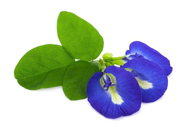 Fleurs de pois bleu sur blanc