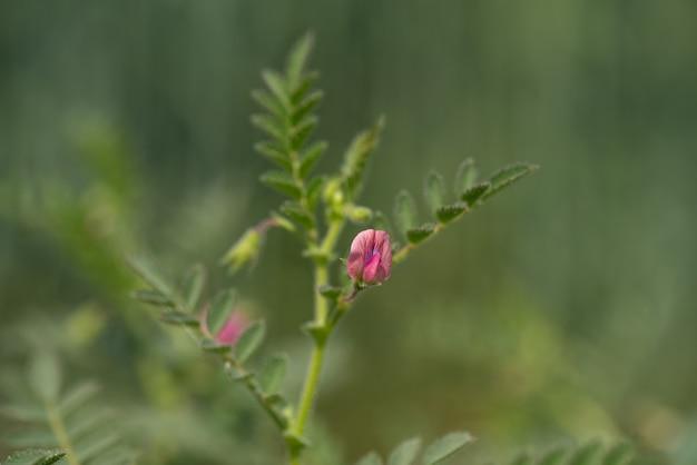 Fleurs de pois chiches avec de jeunes plantes vertes dans le champ de la ferme
