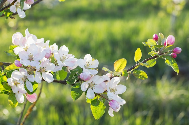 Fleurs de pomme rose et blanc au soleil en plein air