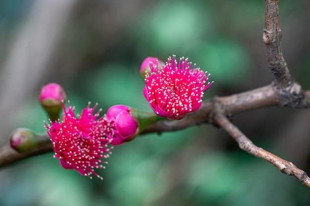 Les fleurs de pomme rose fleurissent.