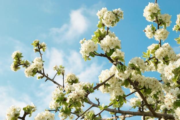 Fleurs de pommier blanc avec ciel bleu