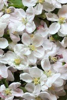Fleurs de pommier blanc comme arrière-plan vue de dessus floraison printanière