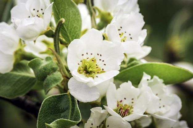 Fleurs de pommier blanc fleurissent au printemps, temps de pâques contre un jardin flou naturel. fermer. mise au point sélective