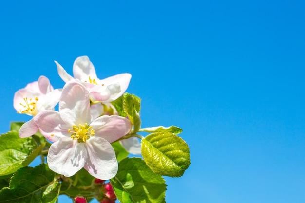 Fleurs de pommier en fleurs close-up contre un ciel bleu, copiez l'espace. carte de printemps, modèle.