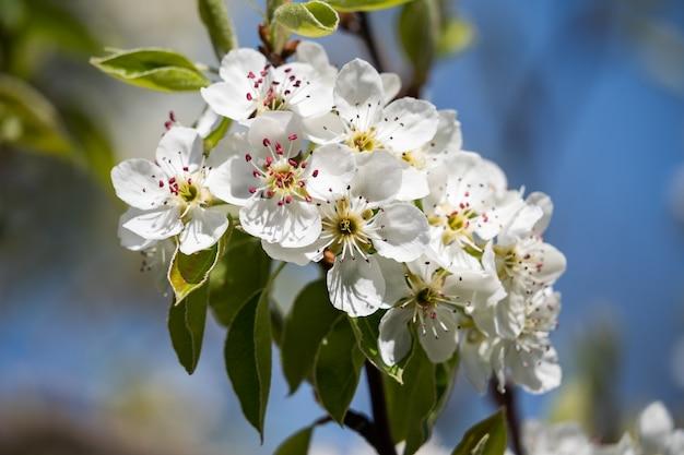 Fleurs d'un pommier sur un fond de ciel bleu en gros plan. une belle journée de printemps. floraison printanière. jardin parfumé.