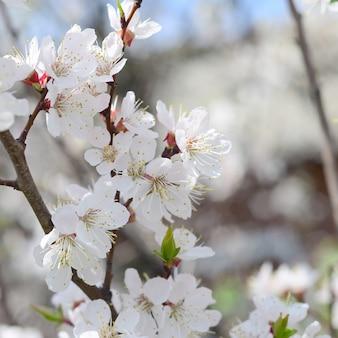 Fleurs de pommier rose à fleurs blanches