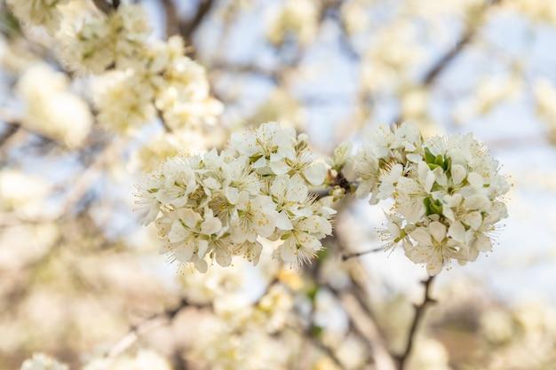 Fleurs de pommier rose printanier. de belles fleurs de printemps fleurissent sur l'arbre