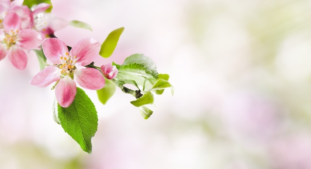 Fleurs de pommier rose de printemps sur fond de nature floue abstraite. bannière de printemps, bordure avec espace de copie.