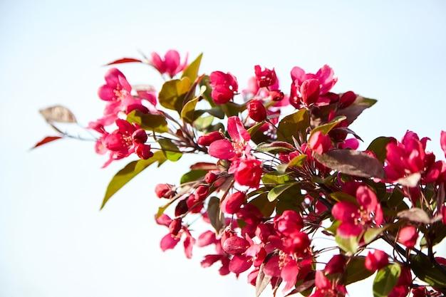 Fleurs de pommier rouge, fleur de printemps du jardin fruitier