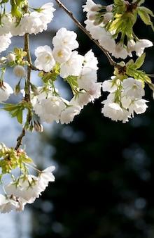 Fleurs de pommier suspendues à un arbre
