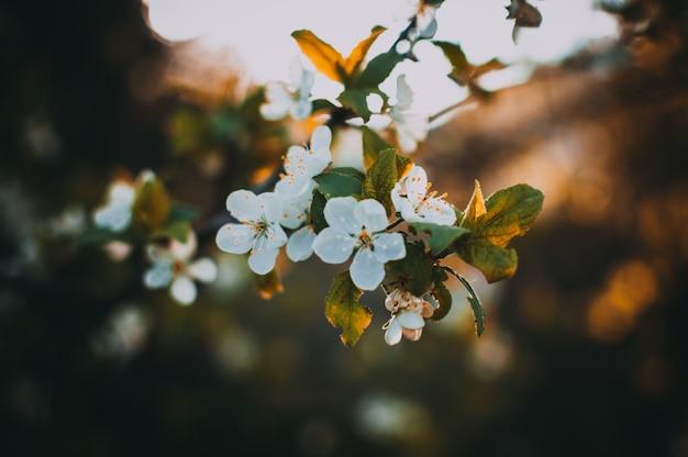 Fleurs sur le pommier