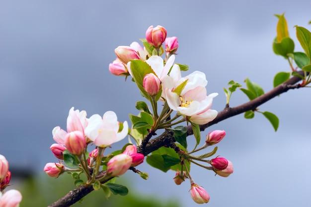 Fleurs de pommiers se bouchent.